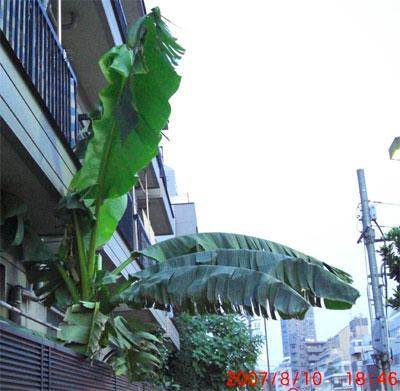 本当の「東京ばな奈?」はい東京バナナです。