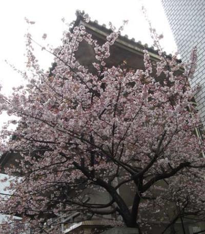 東京千代田区麹町でサクラ開花