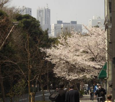 東京都新宿御苑横のサクラ満開・新宿都庁舎と高層ビルを望む