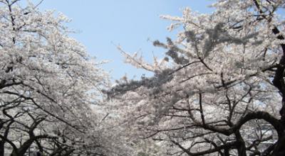 日本武道館の桜2