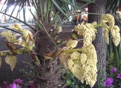 シュロの木の花