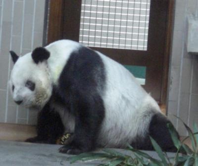 上野動物園のジャイアントパンダ生前のリンリン