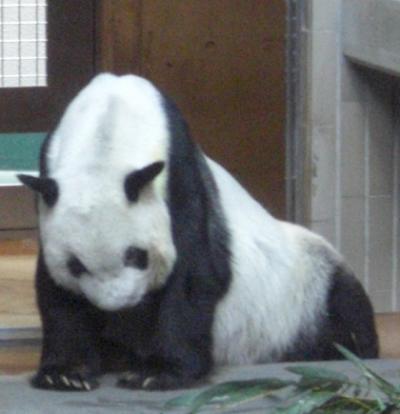 上野動物園のジャイアントパンダ生前の陵陵