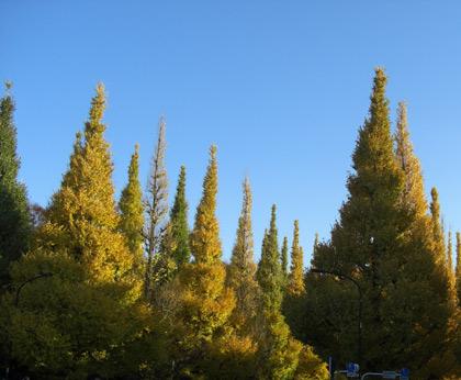 昨日の神宮外苑・銀杏並木が凄い事に・・・