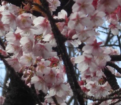 恩賜上野動物園のサクラ開花(満開)!2010年2月21日撮影画像